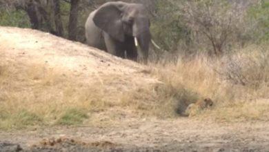 Photo of Elefante salva a bebé impala de leopardo
