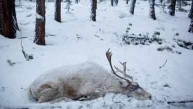 Photo of Ya es hora de cuidar el planeta: 200 renos murieron de hambre