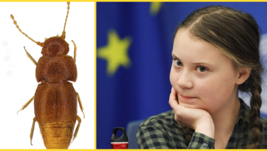 Photo of Llaman Greta Thunberg a especie de escarabajo
