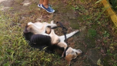 Photo of Localizan perros en estado de desnutrición extrema
