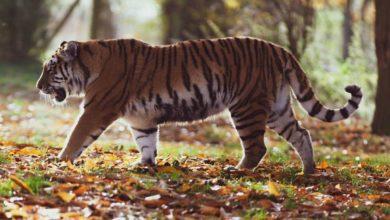 Photo of Finge estar muerto para salvar su vida ante un tigre #Video