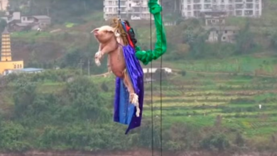 Photo of Video: Promocionan parque lanzando a cerdito de bungee