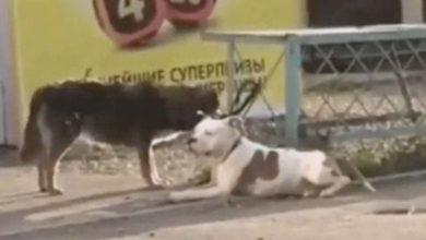 Photo of Perro callejero desata a un pitbull para jugar con él