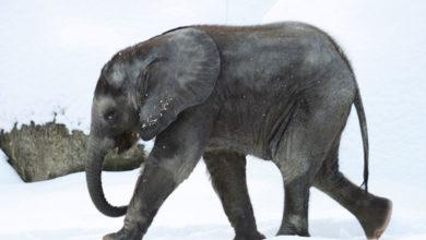 Photo of Una elefanta escapa para bañarse en la nieve #Video