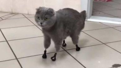 Photo of Gatita vuelve a caminar gracias a prótesis