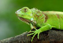 Photo of Cae 'extraña' lluvia de iguanas en Florida #Video