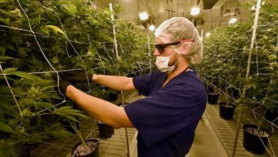 Photo of Debatirán regulación de marihuana en el Senado