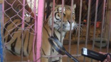 Photo of Aseguran en Veracruz animales de un circo