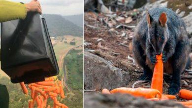 Photo of Helicópteros lanzan verduras para los animales de Australia