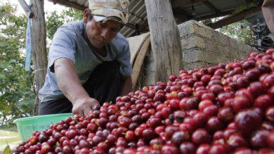Photo of Cafeticultores rentan tierras, por eso no acreditan su propiedad