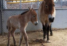 Photo of Nace en Zoológico texano caballo en peligro de extinción