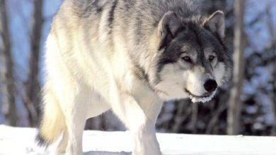 Photo of Deceso de lobo gris expone peligro de extinción de la especie