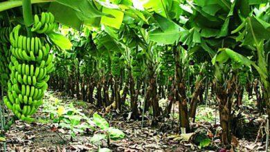 Photo of Sin migrantes peligran cosechas de café, azúcar y frutos en el Sur