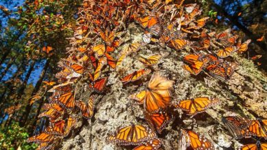 Photo of En peligro migración de la mariposa monarca en Norteamérica