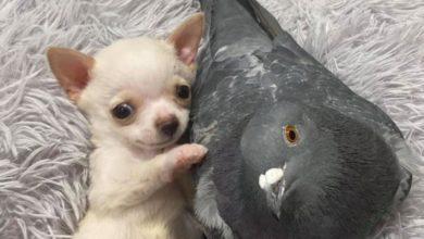 Photo of Amistad entre chihuahua y paloma rescatada se hace viral