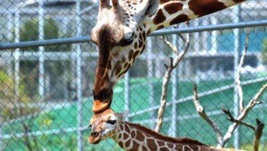 Photo of Nace jirafa en peligro de extinción en zoológico de Morelia #Video