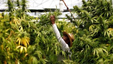 Photo of Legalización de marihuana traería beneficios: Académico