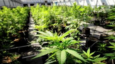 Photo of Presenta Senado anteproyecto modificado para regular marihuana