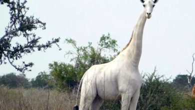Photo of Matan a la única jirafa blanca hembra de Kenia y está al borde de la extinción