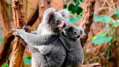Photo of Liberan a koalas en la naturaleza tras incendios