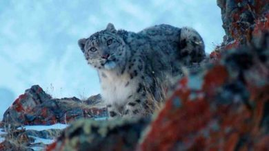 Photo of Captan a leopardo de las nieves en Rusia