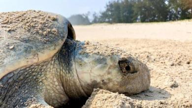 Photo of Inicia anidación de tortugas marinas en playas de Veracruz