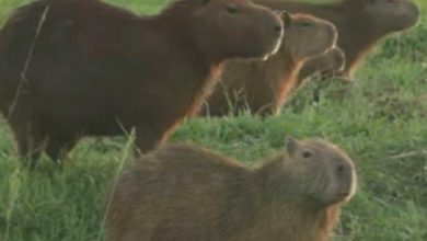 Photo of Capibaras toman club de golf en Bolivia en medio de pandemia