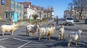 Photo of Cabras invaden calles vacías de una ciudad galesa en cuarentena #Video