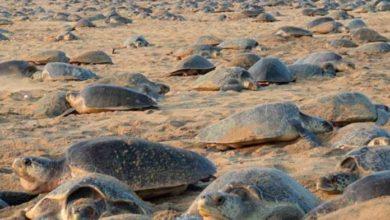 Photo of Tortugas realizan anidación masiva en playas vacías de India