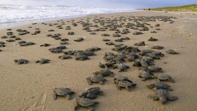 Photo of Playa vacía por cuarentena ve nacer más de 100 tortugas en peligro de extinción