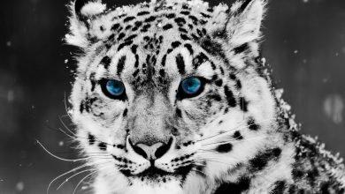 Photo of Toman medidas para preservar al leopardo de las nieves en su día