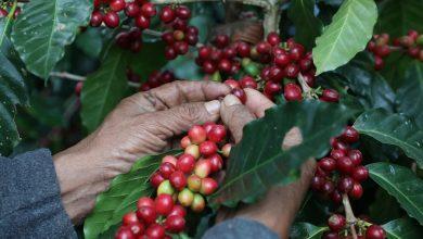 Photo of Prometedora cosecha de café en Veracruz superará las 300 mil toneladas