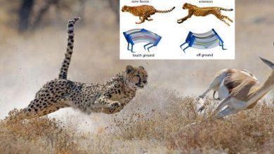 Photo of Crean robot capaz de alcanzar la velocidad de un guepardo