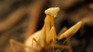 Photo of Mira a esta mantis devorando un avispón «asesino»
