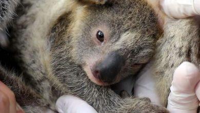 Photo of Nace primer koala en Australia tras devastadores incendios