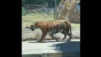 Photo of Video: Desconocen paradero de tigre captado en Jalisco