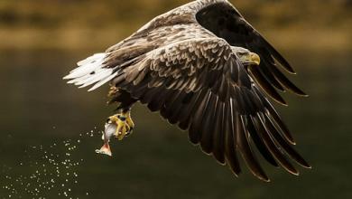 Photo of Águila cola blanca es vista por primera vez en Inglaterra ¡en 240 años!