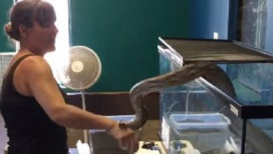 Photo of Serpiente de tres metros muerde a su cuidadora #Video