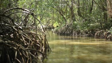 Photo of Invasión del manglar de Arroyo Moreno pone en peligro al ecosistema