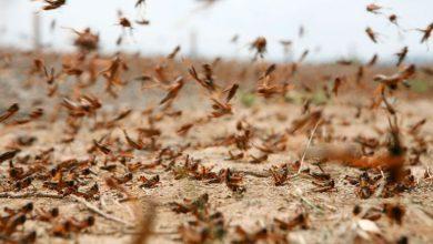 Photo of Plaga de langostas avanza por Argentina