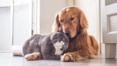 Photo of Animales de compañía no transmiten covid, pero pueden contagiarse