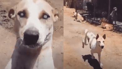 Photo of Video: Perrito ciego corre al encontrar a su excuidador