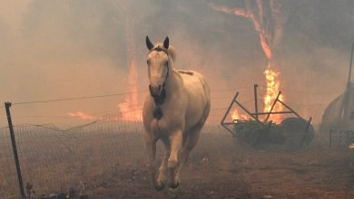 Photo of Al menos 3 mil millones de animales fueron víctimas de incendios en Australia