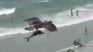 Photo of El increíble video de un águila cazando a un tiburón en el mar