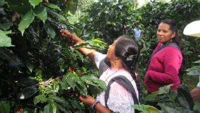 Photo of Sembrarán en Zongolica 5 millones de planta de café resistente a la roya