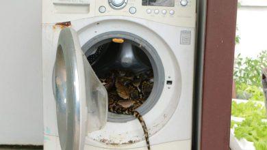 Photo of Mujer encuentra pitón de 5 metros en su lavadora
