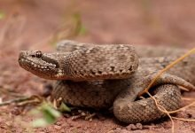 Photo of Captan extraña serpiente de dos cabezas en la India #Video
