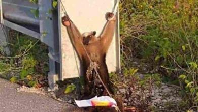 Photo of Sospechan que usaron a oso hormiguero para ritual