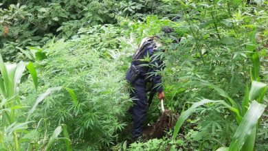 Photo of SSP localiza plantío de mariguana en Chiconquiaco