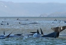 Photo of Muere un tercio de 270 encalladas ballenas varadas en Australia